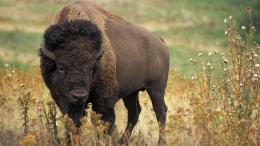 american bison wallpaper american bison buffalo on antelope american 778
