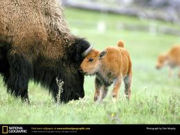 AnimalsAmerican Bison BabyFree Desktop Wallpaper s 1953