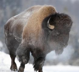 bison hd wallpaper wild bison hd wallpaper wild bison hd wallpaper 527