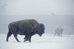 American Bison Bull Pictures HD Wallpapers | HD Wallpapers 360 905