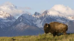 American Bison Wallpaper | American Bison Images | Cool Wallpapers 214