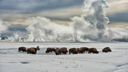 American Bison Wallpaper | Pictures of Bison | Cool Wallpapers 1374