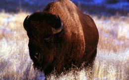 Desktop HD Wallpapers Free Downloads: American Bison HD Wallpapers 664