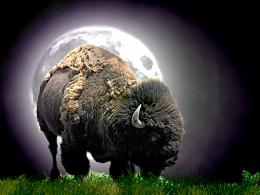 American Buffalo Wallpaper Download The Free Native American Buffalo 154