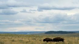 American Bison Wallpaper | Pictures of Bison | Cool Wallpapers 388