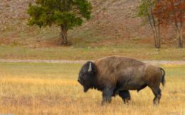 American buffalo wallpaper #959Open Walls 461