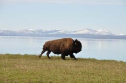 Desktop HD Wallpapers Free Downloads: American Bison HD Wallpapers 1231
