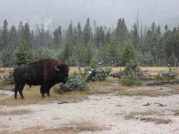 American buffalocalled a bison, reallyin Yellowstone National 1289