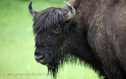 Bison wallpaper 94742 403