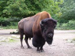 American Bison Bull Pictures HD Wallpapers | HD Wallpapers 360 1231
