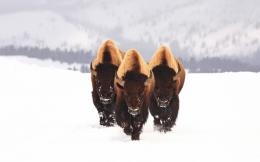 American Bison Wallpaper | Pictures of Bison | Cool Wallpapers 136