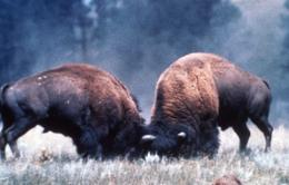 American Bison Bull Pictures HD Wallpapers | HD Wallpapers 360 429
