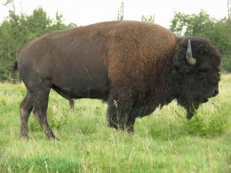 Desktop HD Wallpapers Free Downloads: American Bison HD Wallpapers 792