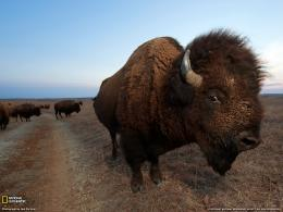 Bison Photo, Animal Migration Wallpaper – National Geographic Photo 1111