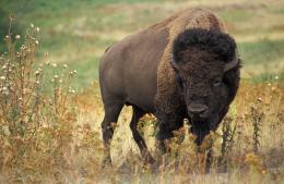 American bison buffalo wallpaper background 791
