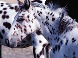 Appaloosa horse rescue saves many livesVideo 887