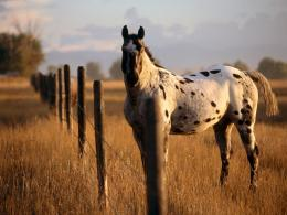 appaloosa horse pic appaloosa horse amazing appaloosa horse new photo 1772