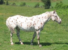 appaloosa horse amazing appaloosa horse new photo appaloosa horse 826