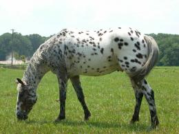 Horse Pictures Images Wallpapers Photos 2013: Appaloosa Horse Pictures 503