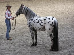 Description Appaloosa stallion JPG 1546