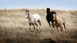 Appaloosa Horse Wallpaper | Pictures of Appaloosa Horses | Cool 1577