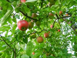 Kashmir Apple Tree Wallpaper | Desktop Wallpaper Backgrounds 1498