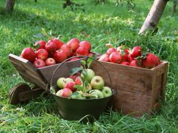 Photography : Apples on tree, Fresh Apples 1024*768 NO 9 Wallpaper 860