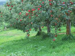 Photography : Apples on tree, Fresh Apples 1024*768 NO 18 Wallpaper 1836