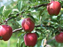 Photography : Apples on tree, Fresh Apples 1024*768 NO 21 Wallpaper 477