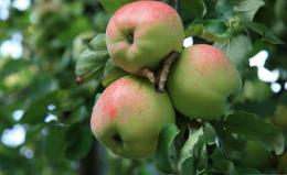 Apple Tree Wallpaper | Apple Tree Pictures | Cool Wallpapers 200