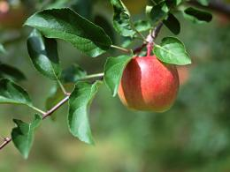 Photography : Apples on tree, Fresh Apples 1024*768 NO 19 Wallpaper 402