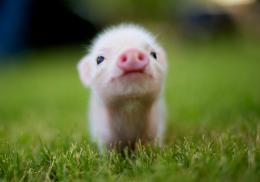 high definition lovely baby animal wallpapers beautiful pig baby 960