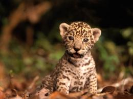 Baby Animals jaguar cub 813