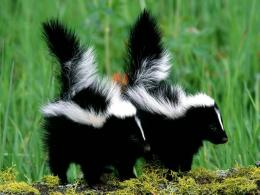 wallpapers of animal baby lovely baby skunk desktop wallpapers 376