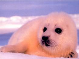 Animals Baby Animal Seal 863