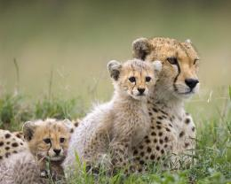 Cheetah FamilyWild Animals Wallpaper2603080Fanpop 858