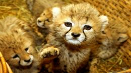 Baby Animals Cute Sweet Tiget Wallpaper with 1920x1080 Resolution 1369