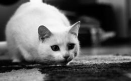 com view hd black and white cat wallpaper 1680x1050 html 1263