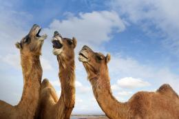 Camel HD Wallpapers 1323