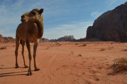 Camel animal hd wallpapers ~ Desktop Wallpapers free Download 515