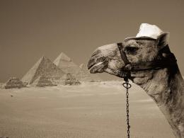 Camel animal hd wallpapers ~ Desktop Wallpapers free Download 478