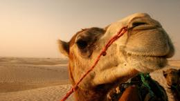 hd camel wallpaper with a camel in the desert hd camels backgrounds 1776