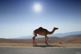 Camel 09 HD Wallpaper wallpaper theme 1931