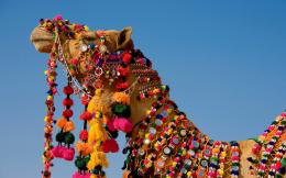 Beautiful Rajasthani Camel | HD Wallpapers 1604