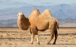 WHAT IS A CAMEL?Wes Phelan 302
