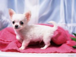 Gorgeous ChihuahuaChihuahuas Wallpaper16750836Fanpop 951