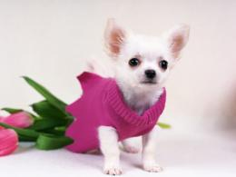 Chihuahua Dog Wallpapers | Chihuahua Puppies Photos | Cool Wallpapers 1150