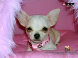 chihuahua dogs wallpapers funny dogs latest wallpapers chihuahua dogs 126