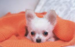 Chihuahua Dog Wallpapers | Chihuahua Puppies Photos | Cool Wallpapers 1505