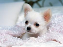 Gorgeous ChihuahuaChihuahuas Wallpaper16750847Fanpop 1428